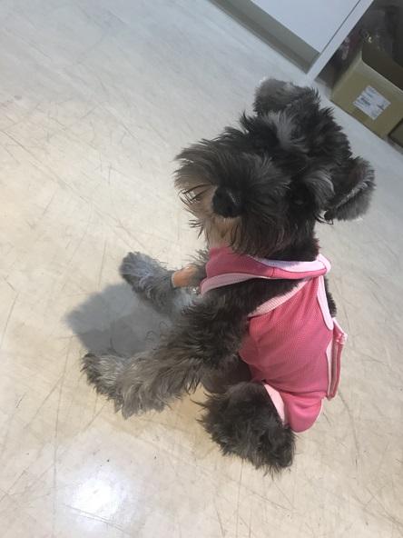 犬 腹腔鏡 避妊手術 ラパロ シュナウザー 自由が丘 東京